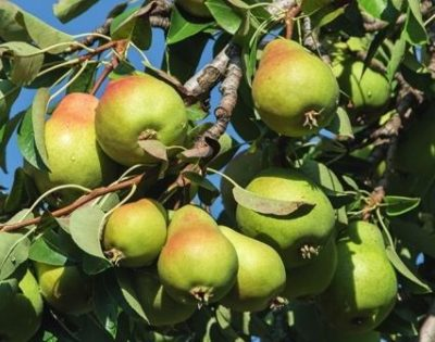 Урожайный сорт груш
