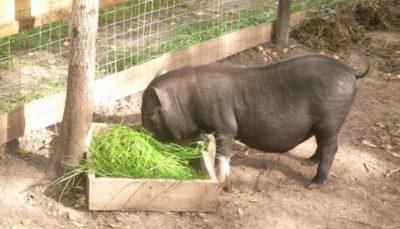 Трава для свиноматки