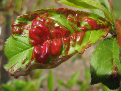 Болезнь персика
