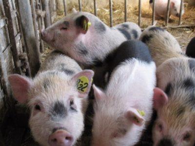 Маркировка свиней