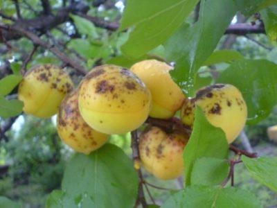 Паразиты на абрикосе