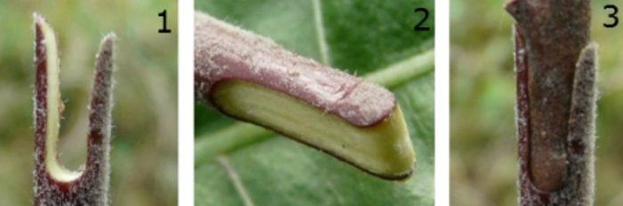 Прививка груши черенками