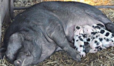 Свиньи сального типа