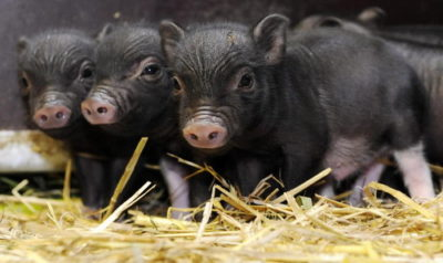 Вьетнамские свиньи