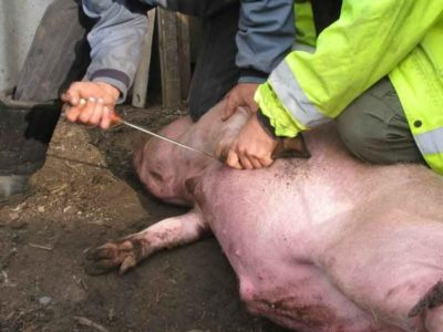 Убой свиней