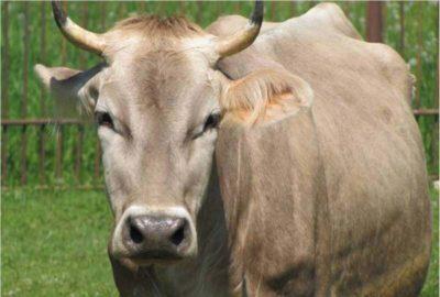 Костромская порода коров