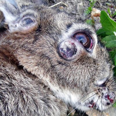 можно ли есть мясо заболевших кроликов