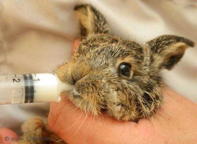 Искусственное вскармливание крольчат