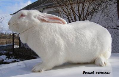Белый великан