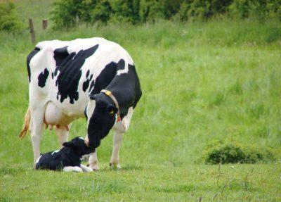 Голштинская порода коров