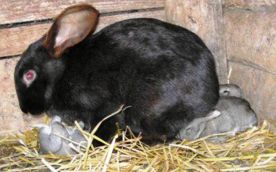 Подсадка крольчат к другой матке