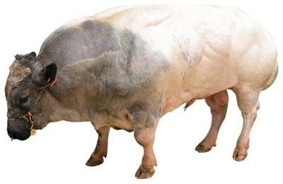 Скрещивание бельгийского быка