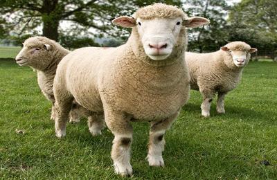 Овцы полл дорсет