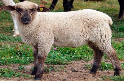 Особенности горьковских овец