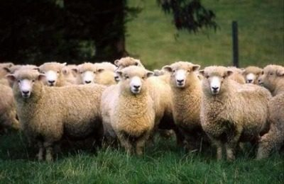 Организация овцеводческого хозяйства