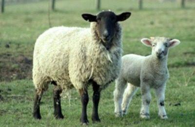 Питание овец
