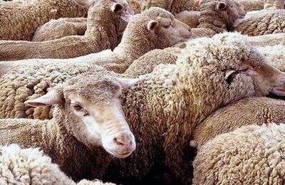 Уход за овцами