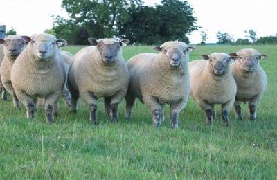 Полутонкорунная порода овец