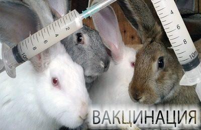 преимущества своевременной вакцинации кроликов