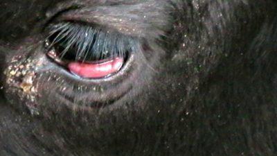 Болезни рогатого скота