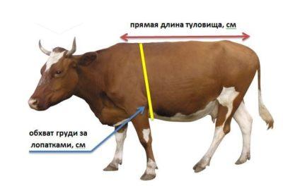 Измерение коровы