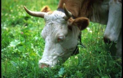 Корова посется