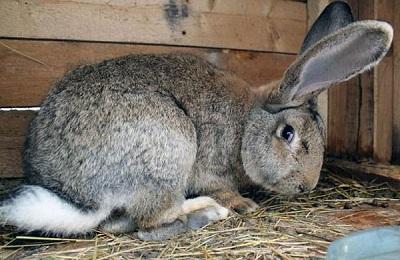Листериоз у кроликов: симптомы и лечение, признаки