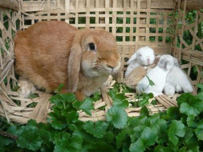 Кролик с крольчатами