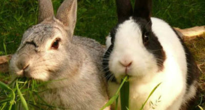 Откорм кроликов