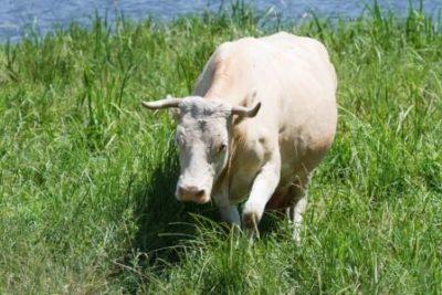 Корова в зеленом поле