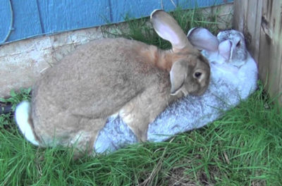 Спаривание кроликов в домашних условиях