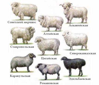 Виды тонкорунных овец