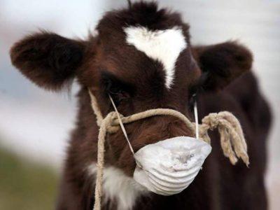 Корова в маске