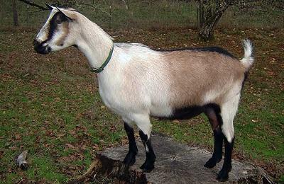 Альпийские козы