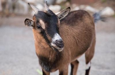 Чешская коза