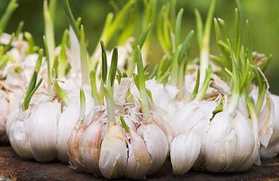 """Когда садить чеснок можно и нужно: какие сроки лучше всего соблюсти для посева зубчиков и """"деток"""" овоща, а также от чего вообще зависит время"""