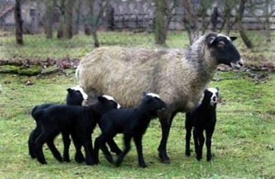 Романовская овцематка с ягнятами