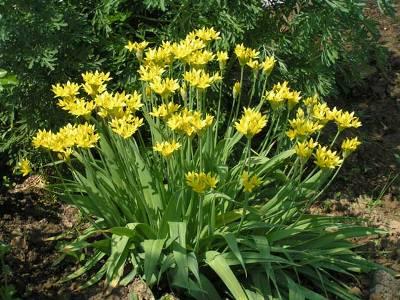 Желтый лук