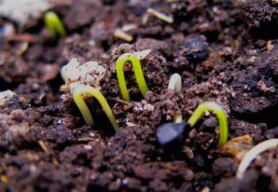 Семена в почве