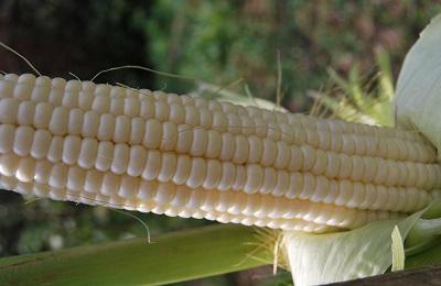Белая кукуруза