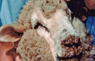 Оспа у овец