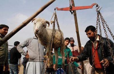 Методы взвешивания овец