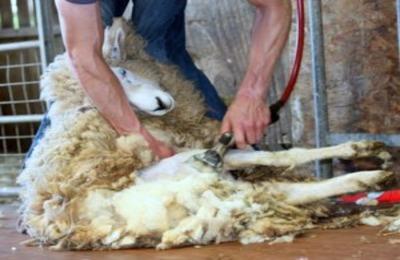 Методы стрижки овец