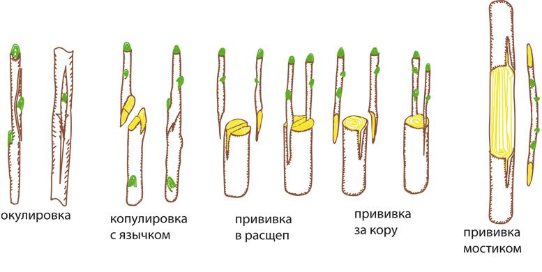 Технология прививки разными способами