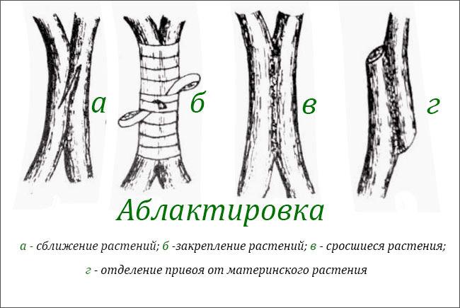 Аблактировка растения