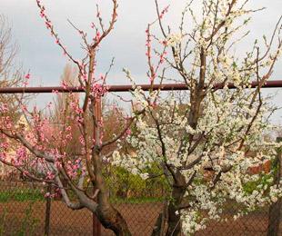 Дерево персика и абрикоса