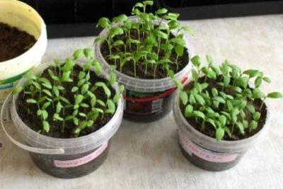 выращивание рассады баклажан для теплицы