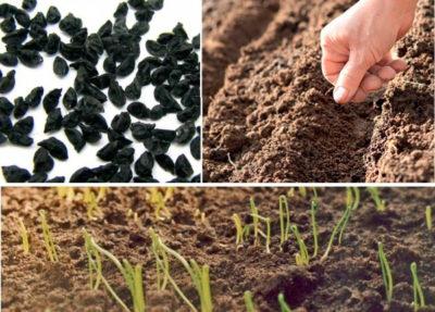 Как сеять лук