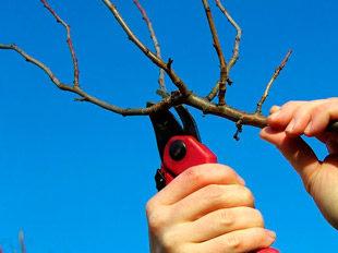 Обрезание вишни