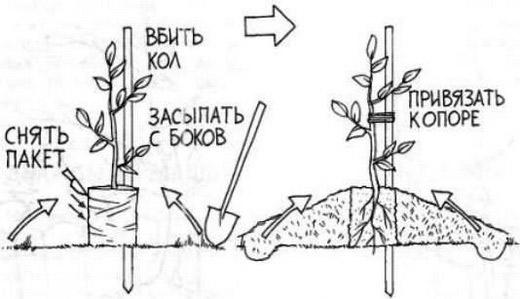 Персик Белый лебедь (7436): купить саженцы почтой в России